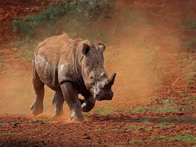Young rhino kicking up dust