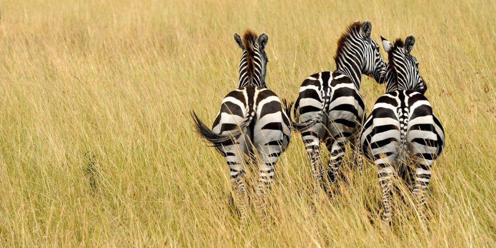 Three zebra from rear